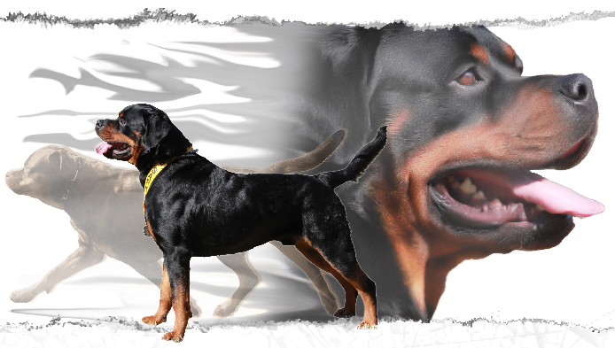 Our Rottweiler Male Is From Excellent Bloodlines Rottweiler Stud